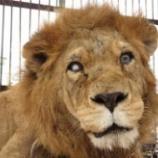 『33頭のライオン救出』の画像