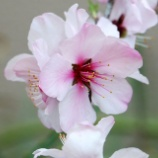 『アーモンドの花』の画像