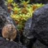 ナキウサギのお山で出会った生き物たち。