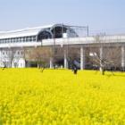 『菜の花畑@横浜市川和町駅前』の画像