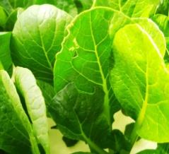 小松菜の葉に小さな穴が空く、小松菜の葉がかじられている