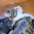 2匹のネコが寝転んでいた。後ろの猫が背中をモミュモミュ♪ → 2匹の猫はこうなります…