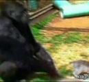 手話のできるゴリラ「ココ」死ぬ