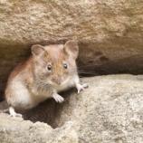 『ネズミの驚くべき生態。人間に見つけられると楽しくて笑う(米科学誌サイエンスより)』の画像