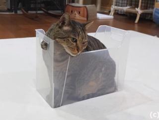 ダンボールに滑り込む猫マルくんの相棒ハナちゃん、箱に入ってみたものマルくんの様に溶ける方法が分からない…!
