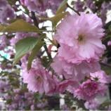 『牡丹桜は八重桜!桜の思い出』の画像
