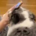 【イヌ】お母さんがスマホをいじっていた。ねぇねぇ、かまってよぉ! → 犬は何度もこうします…