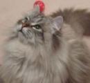 【もふもふ】プーチン大統領が秋田県知事に贈ったシベリア猫ミールくん 日本語を理解し体重は8キロに