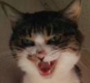 猫が喉を鳴らす「ごろごろ」音は人間の健康に良い、ロシアの研究者が明らかに
