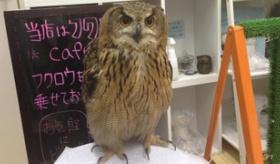 【日本の店】    日本には フクロウカフェ というものが あるらしいぞ!!  海外の反応