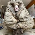 【画像】めっちゃモサモサな羊が保護されるwwwwwwwwwwwww