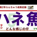 5.令和2年らんちゅう成長記録 ハネ魚