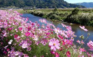 川の両岸に咲き誇るコスモス