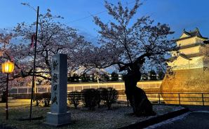 新発田城の夜桜が「きれい~!!」