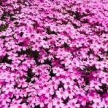 『【國田家の芝桜】(岐阜県郡上市明宝)は【超やさしい】観光名所です。料金無料で無限の感動を与えてくれますよ。』の画像