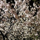『桜とお知らせ』の画像