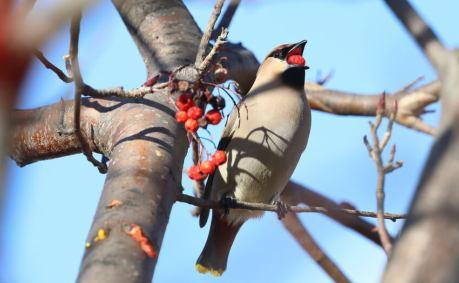 """赤い実と""""相性が良い""""野鳥を撮影"""