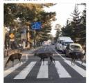 奈良のビートルズ?横断歩道に鹿、Twitterで話題