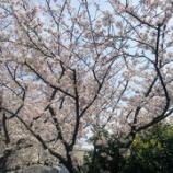 『桜が満開となりました』の画像