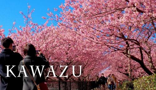 日本の早咲き桜「河津桜」の4K映像に海外感動