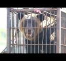 クマ生け捕り 体長約1・7メートル、体重106・5キロ