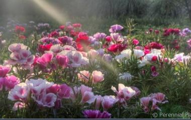 『楽美苑のゴデチア2019(咲き始め)』の画像