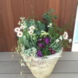 『ローダンセマムとユーカリ・ポプルネアのコンテナガーデンで冬に春向けの寄せ植えを作ってみました!(動画付)』の画像