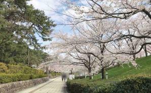 新潟市の桜は「いつ咲きますか」