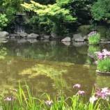 『戸田市後谷公園で菖蒲の花が咲き誇っています!』の画像