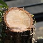 『切れ味鋭い新しいノコギリ【Silkyカミソリメ 375mm】で庭木の手入れ』の画像