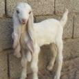 【画像】ロシア人みたいなヤギが発見される