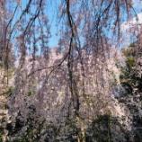 『桜リベンジ』の画像
