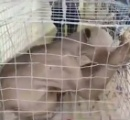 中国の貯水池で正体不明の無毛の生物が生け捕りにされる(動画あり)