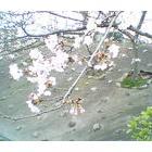 『桜と黄砂』の画像