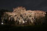 私市植物園の枝垂れ桜のライトアップがどえらいことになってる【夜間特別開園は4/4(金)まで】