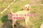 【拡散希望/情報提供求む!】マロンちゃんが迷子になって飼い主さんが探し中です!