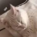 うちのネコは耳が聞こえない。私が数日ぶりに帰宅した。ただいま♪ → 毛づくろい中の猫はこうなった…