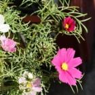 『コスモスの花が咲きました(9月19日の続編)』の画像