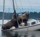 巨大なトド2頭、船を乗っ取る