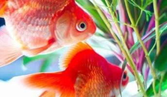 【画像】綺麗な金魚貼るで🤗【大量】