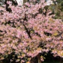白野江植物公園は河津桜が満開