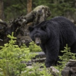 『クマ棚:ツクノワグマの作る棚』の画像