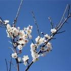 『2月初め 庭の梅』の画像