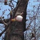『そろそろ桜咲きそうですね。』の画像