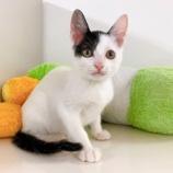 『【子猫】スイカくん 里親募集中です』の画像