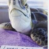 『海の汚染の中で暮らす海亀たち』の画像