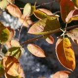 『シンボルツリーの紅葉! 花と実と紅葉が楽しめる万能ツリー!!』の画像