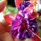 『私がおすすめする美しい花の咲く丈夫な宿根草【鉢植え編】』の画像