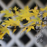 『楚楚と立ちぬる楓』の画像