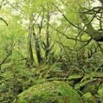 【画像】まるで生きる森!精霊宿る「屋久島の木々」